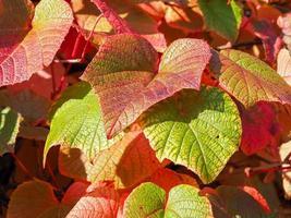 hojas de vid rojas y verdes foto