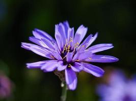 flor de achicoria morada foto