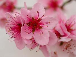 flor de durazno rosa contra una pared blanca foto