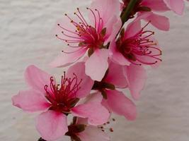 Bonita flor de durazno rosa contra una pared blanca foto
