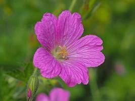 flor de geranio rosa cranesbill foto