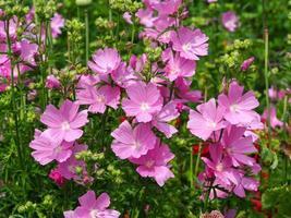 flores de malva rosa foto