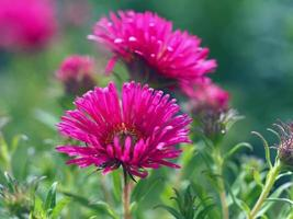 Pink Chinese aster flowers photo