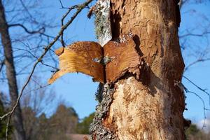 Insect-infected birch trunk in daylight on spring.