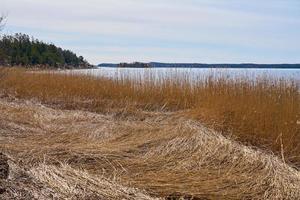 plantas secas en la costa del mar Báltico en Finlandia en la primavera. foto