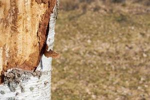 Insect-infected birch trunk in daylight on spring. photo