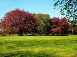 Copper beech and silver birch trees in a park photo