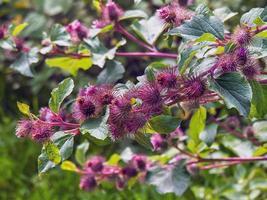 Purple burdock flowers photo