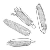 maíz dulce. vector dibujado a mano verduras aisladas sobre fondo blanco. bosquejo del vector del maíz en un fondo blanco