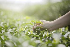 Close up of hand picking fresh tea leaves in natural organic green tea farm photo