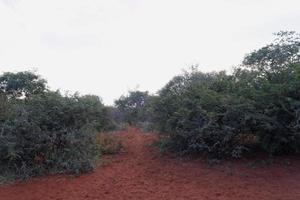Sicklebush bushveld path photo