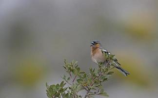 Chaffinch - Fringilla coelebs, Crete photo