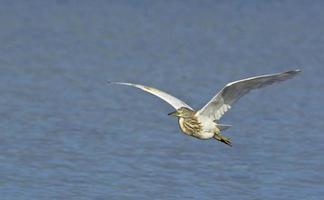 Squacco Heron - Ardeola ralloides, Crete photo