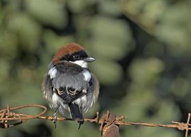 Woodchat shrike - Lanius senator, Crete photo