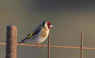 European Goldfinch - Carduelis carduelis, Greece
