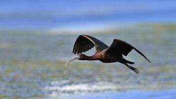 Glossy Ibis - Plegadis falcinellus, Crete photo