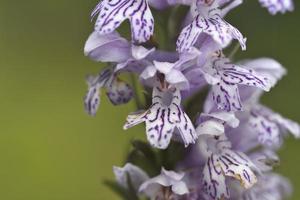 la orquídea dactylorhiza saccifera, grecia foto