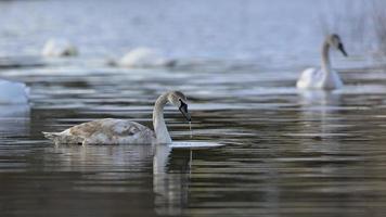 Mute Swan - Cygnus olor, Crete photo