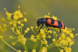 Trichodes is a genus of checkered beetles belonging to the family Cleridae, Greece