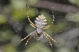argiope lobata es una especie de araña perteneciente a la familia araneidae, creta foto