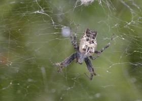 cyrtophora citricola, también conocida como la araña de tela de tienda tropical, es una araña araneida foto