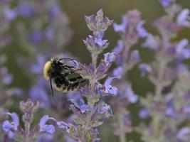 Bombus pascuorum, la abeja carda común, es una especie de abejorro, Grecia foto