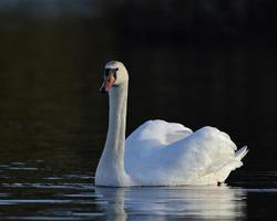 Mute Swan - Cygnus olor, Greece photo