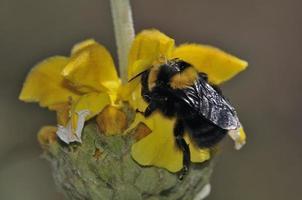 Bombus argillaceus es una especie de abejorro del subgénero megabombus, Creta, Grecia foto