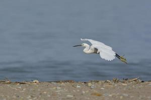 Little Egret - Egretta garzetta, Greece photo