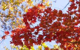 Red maple leaves on a branch photo
