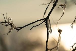 Icicles on bare tree branches photo