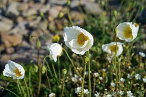 White poppies among grass next to rocks photo