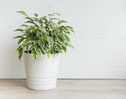 Ficus benjamin on a table photo