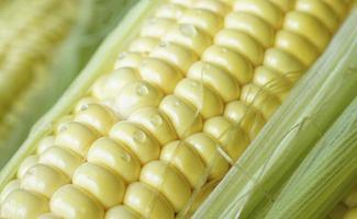Close-up de una mazorca de maíz con gotas de agua foto