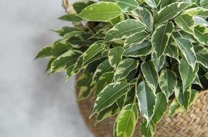 Ficus Benjamin en una canasta foto