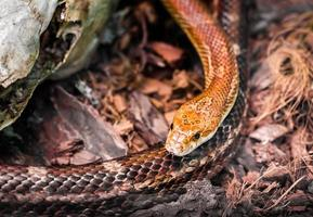Dangerous snake in the forest, wildlife close up photo