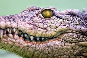 Cabeza de cocodrilo con boca dentuda y ojos amarillos de cerca foto