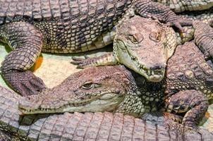 Varios cocodrilos cocodrilos, peligrosos reptiles carnívoros de cerca foto