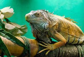Iguana grande sobre un fondo verde de cerca foto