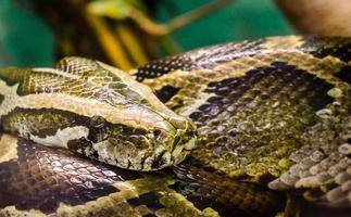 Big snake anaconda close up photo