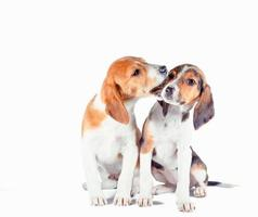 Pair of Estonian hound puppies playing on a white background photo