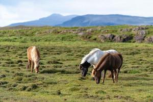 Icelandic horses grazing freely in a field photo
