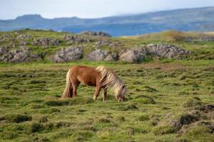 Icelandic horse grazing free in a green field photo