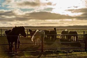 Icelandic horses in sunlight photo
