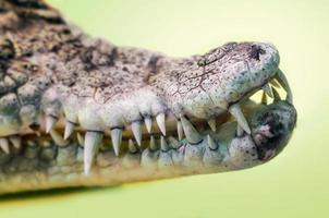 Abrir la boca de un cocodrilo con colmillos afilados aislado cerrar foto