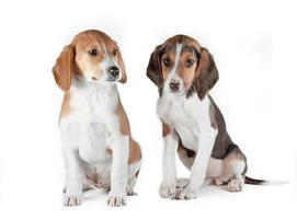Pair of Estonian hound puppies on a white background photo