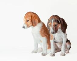 Pair of Estonian hound puppies are sad on a white background photo