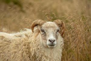 White sheep standing in tall grass photo