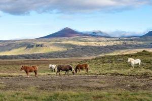 caballos islandeses que pastan libremente en el vasto entorno islandés foto