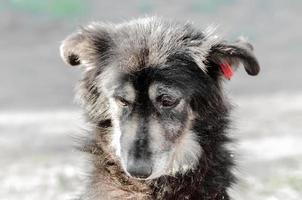 Retrato de un perro negro perro muy triste foto